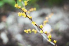 与新的叶子的伏牛花灌木在庭院里 库存照片