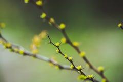 与新的叶子的伏牛花灌木在庭院里 图库摄影
