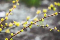 与新的叶子的伏牛花灌木在庭院里 免版税图库摄影