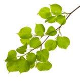 与新的叶子的菩提树分行 免版税库存图片