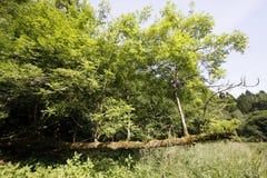 与新的成长的下落的树 免版税库存图片