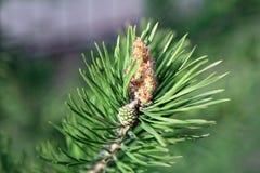 与新的软的pinecone的年轻杉木分支在针中 库存照片