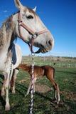 与新的驹的母马 免版税库存图片