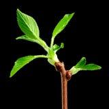 与新的绿色叶子的春天分支在黑背景 免版税库存照片