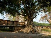 与新绿色的唯一大热带树在公园离开在泰国 免版税库存照片