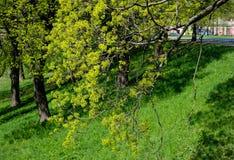 与新绿色的春天树在公园离开 库存照片