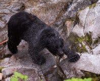 与新鲜的三文鱼抓住的黑熊 库存照片