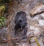 与新鲜的三文鱼抓住的黑熊 免版税库存照片