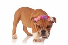 与新鲜的五颜六色的花的可爱的英国牛头犬小狗加冠 免版税图库摄影