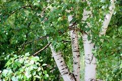 与新鲜的叶子的高苗条白桦树干 库存照片