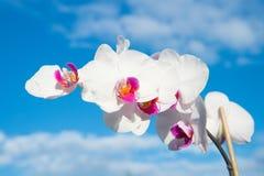 与新鲜的开花的花在蓝天 与白色瓣的开花的兰花在晴天 本质秀丽 夏天或春季 免版税库存照片
