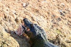 与新鲜的抓住的一条凯门鳄 免版税库存照片