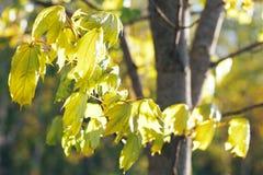 与新鲜的槭树叶子的春天背景 免版税库存照片
