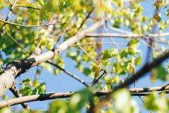 与新鲜的槭树叶子的春天背景 免版税库存图片