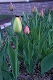 与新鲜的绿色叶子的浅粉红色的郁金香是其中一朵最美丽的花在庭院里 免版税图库摄影