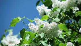 与新鲜的绿色叶子的白色丁香在反对天空蔚蓝的一个分支 股票视频