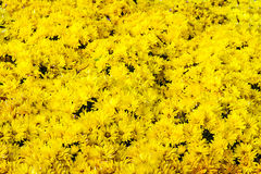 与新鲜的草和黄色菊花的背景 库存图片