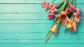 与新鲜的郁金香的背景 免版税库存照片