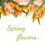 与新鲜的郁金香花的明信片和您的te的空的地方 免版税库存图片