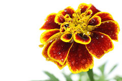 与新鲜的雨的日本红色万寿菊 免版税库存图片