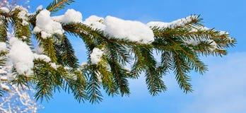 与新鲜的雪的圣诞节常青云杉的树反对蓝色 库存照片