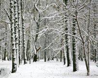 与新鲜的雪的桦树 库存照片