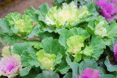 与新鲜的露水的紫色和绿色装饰装饰圆白菜我 免版税库存照片