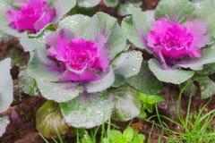 与新鲜的露水的紫色和绿色装饰装饰圆白菜我 库存照片