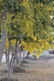 与方式的金黄阵雨 图库摄影