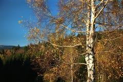 与旅游标志的桦树 免版税库存图片