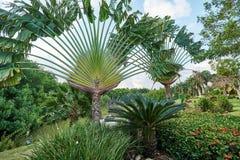 与旅行家` s树Ravenala madagascariensis、苏铁苏铁属revoluta、ixora灌木和一个池塘的热带风景的 免版税库存照片