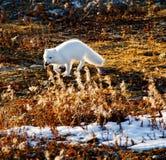 与旅鼠的白狐在他的嘴 免版税图库摄影