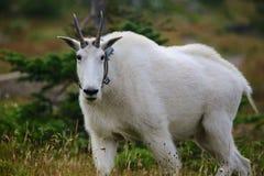 与无线电衣领的石山羊 库存图片