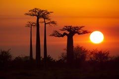 与日出的猴面包树 免版税库存照片