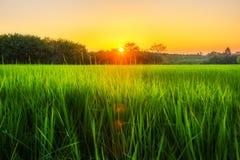 与日出的米在moning的光的领域或日落 库存照片