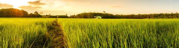 与日出的米在moning的光的领域或日落 免版税库存照片