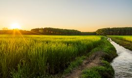 与日出的米在moning的光的领域或日落 库存图片