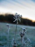 与日出的冻花在背景中 库存照片
