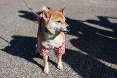 与日本服装的逗人喜爱的什巴Inu狗 库存图片
