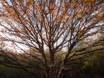 与日落光的一棵华美的秋天树熔铸了在一半它  库存图片