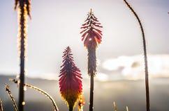 与日落光的红色花 库存照片