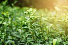与日落光的绿色茶叶 免版税库存图片