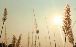 与日落天空的高芦苇特写镜头 库存照片