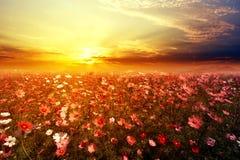 与日落的美好的桃红色和红色波斯菊花田 库存图片