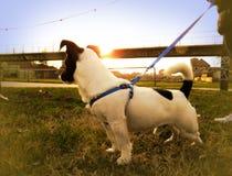 与日落的逗人喜爱的杰克罗素小狗在背景中 免版税库存照片