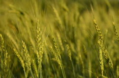 与日落的颜色的麦田 免版税图库摄影
