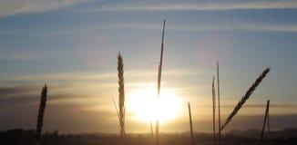 与日落的麦子 免版税库存图片