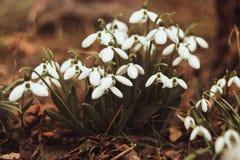 与早晨光的白色snowdrops Snowdrop花背景纹理 o 新鲜绿色补全白色 库存照片