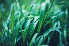 与早晨在雨,与雨珠,大模型背景叶子植物特写镜头的自然背景以后的水露水下落的绿色新鲜的草, 免版税图库摄影