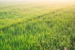 与早晨太阳光的豪华的稻米 库存照片